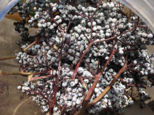 Destemming Wild Elderberries - The Very Easy Veggie Garden