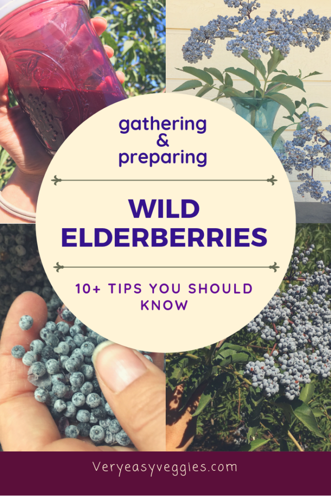 If you're planning to make elderberry syrup this fall as a natural immune system booster, why not try finding wild elderberries? Find out what you need to know about picking and preparing elderberries--parts of the plant can be poisonous, so don't eat them raw!